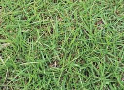 歐美進口 當季 假儉草 種子 1公斤裝  發芽率高 假儉草種子  種子、草皮、草子