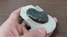 《威奇植礦》新變眼角三葉蟲化石Acastidae kayserops  (高淨度完整度)