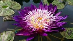 【心慈】熱帶睡蓮 香水蓮花 Nymphaea Plum Crazy 梅花瘋狂 成株帶花苞