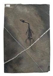 [精品] 貴州龍 化石~~小體型 台灣頂級清修工藝, (眼窩、骨骼、指節、牙齒清晰可見)