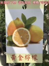 🙏 黃金檸檬 黃檸檬 梅爾檸檬 北京檸檬 黃檸檬盆栽 黃皮檸檬 梅約檸檬 黃色檸檬 黃檸檬苗 Meyer 檸檬 甜檸檬
