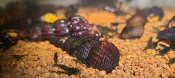綠米蝦 翡翠米蝦  co2 水草缸 耐溫