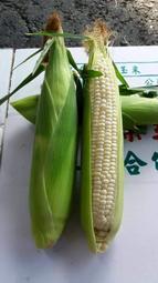 北海道牛奶水果玉米 水果玉米(1箱20斤700元) #慧軒農場