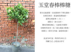 心栽花坊-梔子花/玉堂春/棒棒糖造型/8吋/造型樹/綠化植物/綠籬植物/香花植物/售價800特價700