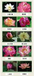 Flora & Cloris行家收藏系列荷花種子 碗蓮 蓮子 微型荷花 (20款蓮花種子)