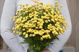 Flora & Cloris 國外進口泰迪熊菊 菊花 種子 (小黃菊、法國菊)