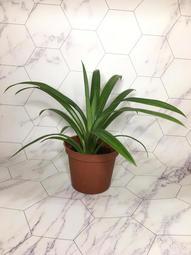 英宏-香草植物-七葉蘭(香蘭)3吋