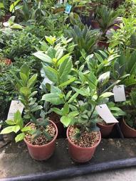 ㄧ禪種苗園-可以用作調料<月桂(月桂葉)>香料植物-5吋盆