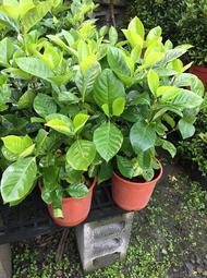 一禪種苗園-花大而美麗<大花玉堂春(黃槴子花)>綠籬植物-5吋盆