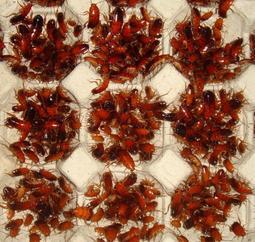 銅板價50元專區櫻桃紅蟑螂,杜比亞,高蛋白飼料